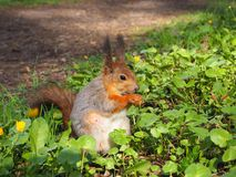 A cute red squirrel eating something on the green grass of the forest stock image