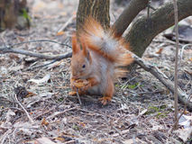 Cute red squirrel eating walnut human-like and posing in the par. K Royalty Free Stock Images