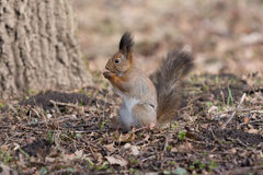 Cute red squirrel eats an acorn on back paws. Royalty Free Stock Photos