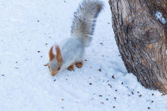 Cute red squirrel eats a nut in winter scene with nice blurred background Royalty Free Stock Photo