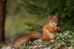 Cute red squirrel in forest Royalty Free Stock Photos