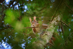 Cute red squirrel hidden in branches on coniferous tree Royalty Free Stock Photography