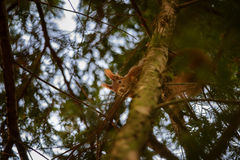 Cute red squirrel hidden in branches on coniferous tree Stock Image