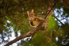 Cute red squirrel hidden in branches on coniferous tree Royalty Free Stock Photos