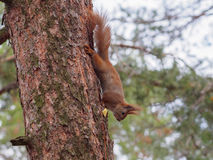 Cute red squirrel hiding apple in bark of the tree. In early spring Stock Photography