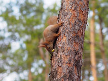 Cute red squirrel hiding apple in bark of the tree. In early spring Stock Image