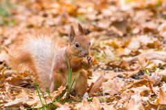 Cute red squirrel holding nut in feet. Red squirrel (Sciurus vulgaris) with a nut in feet in autumn oak forest Royalty Free Stock Photos