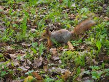 A cute red squirrel jumping on the green grass of the forest royalty free stock photography