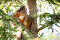 Cute Red Squirrel Kiss Close-up Portrait Stock Photos