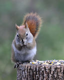 Cute Red Squirrel Royalty Free Stock Image