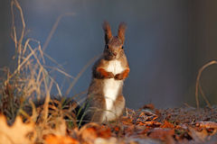 Cute red squirrel with long pointed ears eats a nut in autumn orange scene with nice deciduous forest in the background, hidden in Royalty Free Stock Image
