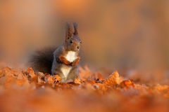 Cute red squirrel with long pointed ears eats a nut in autumn orange scene with nice deciduous forest in the background. Wildlife Stock Photos