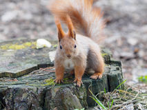 Cute red squirrel looking into camera and posing on the stump in. The park in early spring Royalty Free Stock Image
