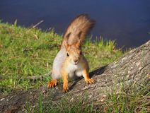 Cute red squirrel in the park is standing on the tree close view royalty free stock image