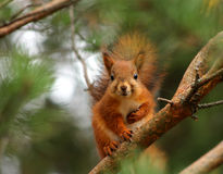Cute red squirrel in pine tree