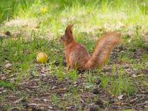 Cute red squirrel posing near apple Stock Photo
