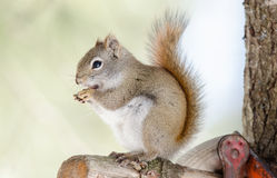 Cute Red squirrel, quick little woodland creature having a peanut for breakfast. Royalty Free Stock Image