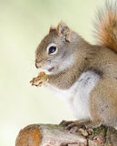 Cute Red squirrel, quick little woodland creature having a peanut for breakfast. Royalty Free Stock Photography
