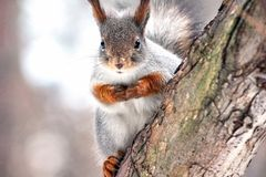 Adorable furry red squirrel in the forest, winter time royalty free stock photography