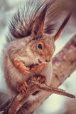 Cute red squirrel Sciurus Vulgaris in the forest royalty free stock photo