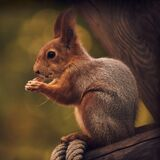 Red-haired cute squirrel gnaws a nut on a tree branch in the autumn forest