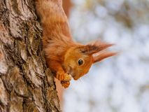 Cute red squirrel sits on the tree and eating Stock Photos