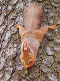 Cute red squirrel sits on the tree and eating Royalty Free Stock Photo