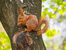 Cute red squirrel sits on the tree and eating walnut Royalty Free Stock Photography