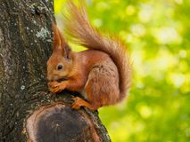 Cute red squirrel sits on the tree and eating walnut Stock Image