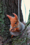 Cute red squirrel sits on the tree and keeps walnut in its paws Stock Image