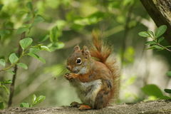 Cute red squirrel sitting on a fence. Royalty Free Stock Images