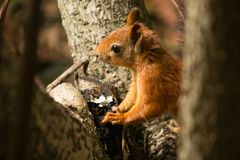 Cute red squirrel on a tree Royalty Free Stock Photos