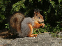 Cute red squirrel turning grey in autumn Royalty Free Stock Photos