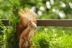 Cute red squirrel visit our balcony regulatly. Example of adaption to human environment stock images