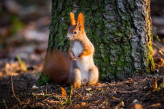 Cute red squirrel watches forest warily Royalty Free Stock Images