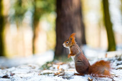 Cute red squirrel in winter scene Royalty Free Stock Photography
