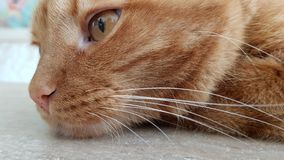 Cute red tabby cat in pensive mood. Long cat whiskers and red cat eye closeup. Striped red cat portrait. Amber color fluffy pet stock images