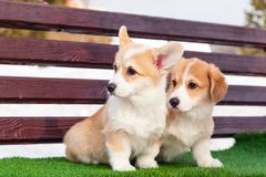 Cute red welsh corgi pembroke puppies on the grass, walk outdoor, having fun in white snow park, winter forest, run through the. Snow. Concept purebred dogs royalty free stock photo