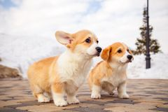 Cute red welsh corgi pembroke puppies on the grass, walk outdoor, having fun in white snow park, winter forest, run through the. Snow. Concept purebred dogs stock photo