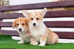 Cute red welsh corgi pembroke puppies on the grass, walk outdoor, having fun in white snow park, winter forest, run through the. Snow. Concept purebred dogs stock photos