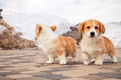 Cute red welsh corgi pembroke puppies on the grass, walk outdoor, having fun in white snow park, winter forest, run through the. Snow. Concept purebred dogs stock photography