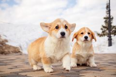Cute red welsh corgi pembroke puppies on the grass, walk outdoor, having fun in white snow park, winter forest, run through the. Snow. Concept purebred dogs royalty free stock images