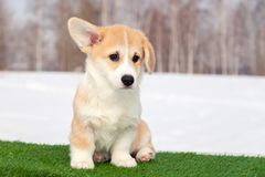 Cute red welsh corgi pembroke puppy on the grass, walk outdoor, having fun in white snow park, winter forest, run through the snow. Concept purebred dogs stock photos