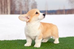 Cute red welsh corgi pembroke puppy on the grass, walk outdoor, having fun in white snow park, winter forest, run through the snow. Concept purebred dogs stock image