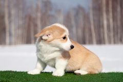 Cute red welsh corgi pembroke puppy on the grass, walk outdoor, having fun in white snow park, winter forest, run through the snow. Concept purebred dogs royalty free stock photography
