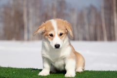 Cute red welsh corgi pembroke puppy on the grass, walk outdoor, having fun in white snow park, winter forest, run through the snow. Concept purebred dogs royalty free stock photo