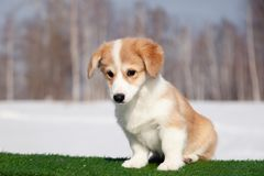 Cute red welsh corgi pembroke puppy on the grass, walk outdoor, having fun in white snow park, winter forest, run through the snow. Concept purebred dogs stock images