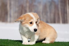 Cute red welsh corgi pembroke puppy on the grass, walk outdoor, having fun in white snow park, winter forest, run through the snow. Concept purebred dogs royalty free stock photos
