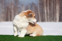 Cute red welsh corgi pembroke puppy on the grass, walk outdoor, having fun in white snow park, winter forest, run through the snow. Concept purebred dogs royalty free stock image