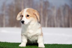 Cute red welsh corgi pembroke puppy on the grass, walk outdoor, having fun in white snow park, winter forest, run through the snow. Concept purebred dogs royalty free stock images